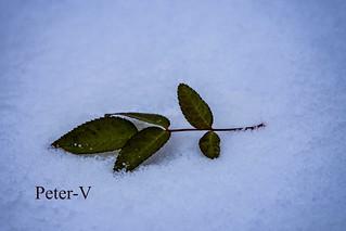Wild rose in the snow