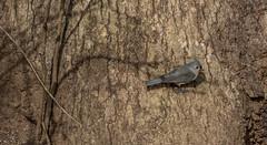 _DSC0241 (johnjmurphyiii) Tags: 06416 birds connecticut cromwell originalnef shelly tamron18400 usa wildlife winter yard johnjmurphyiii