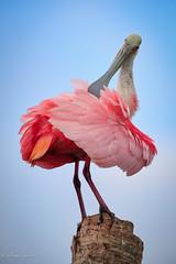 Got An Itch (dngovoni) Tags: action bird florida spoonbill sunrise vierawetlands wildlife