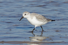 K32P7169a Sanderling, Titchwell Beach, Fevruary 2019 (bobchappell55) Tags: titchwell beach norfolk wild bird wildlife nature wader sanderling calidrisalba feeding