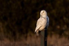 Snowy Owl (NicoleW0000) Tags: snowyowl owl birdofprey bird nature wildlife wildlifephotography outdoors ontario canada wildowl