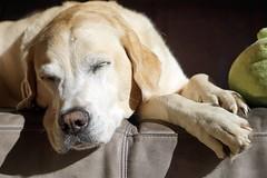 Iva (glaserei) Tags: hunde hund haustier goldie retriever labrador labi iva