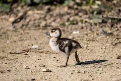 Egyptian gosling (Dave Bickley) Tags: attenborough birds attenboroughnaturereserve nottingham nottinghamshirewildlifetrust march2019 goose egyptiangoose wildfowl gosling fujixt3 fuji