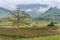 _J5K2556.0918.Lìm Mông.Cao Phạ.Mù Cang Chải.Yên Bái (hoanglongphoto) Tags: asia asian vietnam northvietnam northwestvietnam northernvietnam landscape scenery vietnamlandscape vietnamscenery mucangchailandscape terraces terracedfields tree mountain mist valley dale village mountainouslandscape tâybắc yênbái mùcangchải caophạ lìmmông cây ruộngbậcthang câygạo núi sươngmù thunglũnglìmmông bảnlìmmông mùcangchảimùagặt mùcangchảimùalúachín canon canoneos1dsmarkiii canonef2470mmf28liiusm