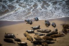 Seal Beach (Daren Grilley) Tags: sand beach seals carpenteria santa barbara county pacific ocean nikon 200700 d850