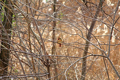 IMG_2826 (Jeffrey Terranova) Tags: canon rebelt6 avenel nj newjersey backyard wildlife cardinal