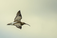 Curlew (ianbartlett) Tags: 365 outdoor wildlife nature birds flight monochrome sea sand water dogs groynes drone landscape light colour seal