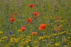 Blumen im Wind - Flowers in the wind (heinrich.hehl) Tags: natur flora blumenwiese klatschmohn saatwucherblume blumen nature flower meadow flowers poppy seedwortflower