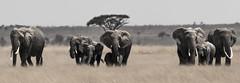 _A120096 (BergsPix) Tags: elephants africa kenya safari amboseli masaai mara samburu tusks mammals