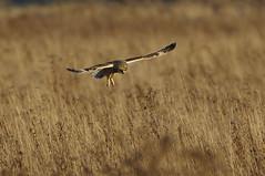 K32P1386a Short-eared Owl, Burwell Fen, November 2018 (bobchappell55) Tags: burwellfen cambridgeshire nationaltrust wild bird wildlife nature shorteared owl asioflammeus birdofprey