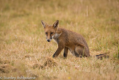 Red Fox (stanley.ashbourne) Tags: nature wildlife redfox fox stanashbourne wildlifephotography