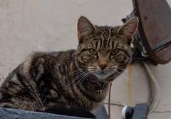 sat-cat (Rourkeor) Tags: 35mmzeisssonnartlens 35mm england littlehampton sony uk westsussex cat fullframe ledge satellitedish tortoiseshellcat