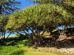 Pandanus tectorius var. australianus - Beach Pandan, Screw Pine, Flinders Park, Yamba, NSW (Black Diamond Images) Tags: pandanus pandanustectoriusvaraustralianus pandanustectorius pandanaceae arfp nswrfp qrfp littoralarf arffs greenarffs yamba marginalarfp nsw beachpandan screwpine cyrfp vinearf lowlandarf australianrainforestfruits australianrainforestseeds rainforestfruits rainforestseeds plant flinderspark