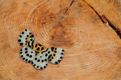 Magpie moth (© Catriona Walker) Tags: moth magpiemoth abraxasgrossulariata catrionawalker needlefelted needlefelt needlefelting handmade craft