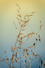Seeds of Gold (NathalieSt) Tags: europe france hérault lagrandemotte languedocroussillon occitanie leverdesoleil nature nikon nikond750 nikonpassion nikonphotography sunrise