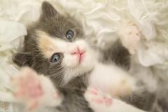 20161105_3830c (Fantasyfan.) Tags: sohvilaiset hana fantasyfanin rekku rescue kitten