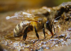 Macro Mondays - Hobby, Beekeeping (babrey-au) Tags: macromondays beekeeping hobby bee bees apiary thirstywork beedrinking water canon7d canon macro thirstybee thirsty drink drinking workerbee workerbeedrinking