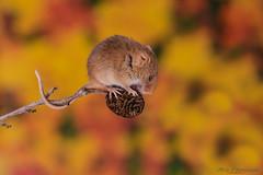 Harvest mice 1 12.01.19 (Lee Myers - aka mido2k2) Tags: green harvest mice mouse mammal small native wildlife uk countryside nature natural studio light portrait setup nikon d7100 flash strobe sigma macro 105mm cute smile happy fluffy rodent