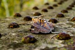 La ultima hoja (ameliapardo) Tags: hojas macro texturas desenfoque fujixt2 fujinon1855 sevilla andalucia airelibre naturaleza