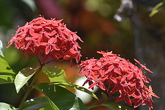 Red Rubiaceae flower Cluster. (Manoo Mistry) Tags: flowers rubiaceaeflower cluster closeup plants bush nikon nikond5500 tamron tamron18270mmzoomlens