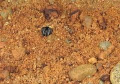 sand bear Arctosa perita lycosidae (BSCG (Badenoch and Strathspey Conservation Group)) Tags: acm arachnid spider arctosa lycosidae january snow cold