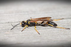 Female Black and Yellow Mud Dauber (Sceliphron caementarium) (JHousePhotos) Tags: arkansas wasps sphecidae
