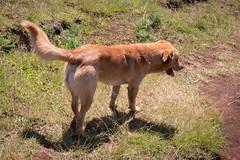 IMG_8375 (jaglazier) Tags: 121318 2018 chile december easterisland grass plants ranokau animals copyright2018jamesaglazier dogs mammals valparaisoregion
