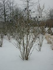 Viburnum lantana (Jörg Paul Kaspari) Tags: hosingen centre ösling winter wolliger schneeball viburnumlantana habitus strauch wuchs shrub gehölz