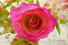 A Single Rose (Candy McDonald) Tags: flowers bouquet pink botanicals fineartphotography nikon nikonphotography texturedphotography impressionist textures photoshop nikcollection