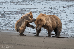 _HB33528 (Hilary Bralove) Tags: lakeclarknationalparkbrownbearsbearsalaskanikonwildlifegrizzlygrizzlybearbrownbearanimalswildlifephotographer alaksa brownbears grizzlybears bear bears grizzly brownbeargrizzly bearlake clarkwildlifealaska wildlifenikonlake clark national park