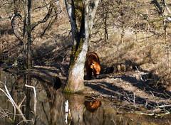 rendez-vous in the forest (kelsk) Tags: scottischhighlander schotsehooglander rund kennermerduinen nationaalparkkennermerduinen kelskphotography bos forest duinen dunes water animal winter driehuis noordholland holland nederland netherlands