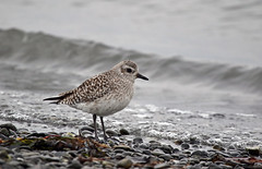 Black-bellied Plover - 094A5665a2c1 (Sue Coastal Observer) Tags: blackbelliedplover bbpl pluvialissquatarola blackiespit surrey bc britishcolumbia canada