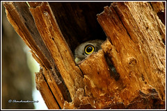8576 -The eye (chandrasekaran a 59 lakhs views Thanks to all.) Tags: spottedowlet birds nature india chennai canon60d