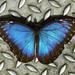 Farfalla tropicale blue morpho