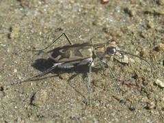 Ellipsoptera macra macra, female (tigerbeatlefreak) Tags: ellipsoptera macra insect tiger beetle coleoptera cicindelidae nebraska