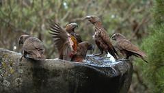 Mayhem at the Watering Hole (kattabrained) Tags: nestormeridionalis new zealand parrot kaka