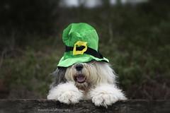 happy St Patrick's day (dewollewei) Tags: sint patricks stpatricksday stpatric ireland irish paddy day green hat sintpatricksday nose dog oldenglishsheepdog oldenglishsheepdogs oldenglishsheepdogsworldwide old english sheepdog ierland