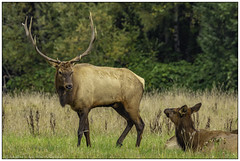 Window Shopping (rssii) Tags: animals nature wildlife elk bull herd snoqualmie washington usa mating