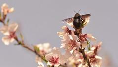 """""""Según las leyes de la aerodinámica, está demostrado que el vuelo del abejorro es imposible. Pero él no lo sabe"""". (elena m.d.) Tags: new macromondays nikon d5600 sigma sigma105 insecto animales nature macrofotografia macro"""