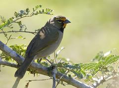 Yellow-faced Grassquit_19-03-01_Tiaris olivaceus (Langham Birder) Tags: cuba tiarisolivaceus yellowfacedgrassquit