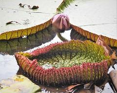 Vitória-régia (sileneandrade10) Tags: sileneandrade vitóriarégia planta plantaaquática flor amazônia amazonas rionegro água floresta floresaquáticas folhas nikoncoolpixp900 nikon