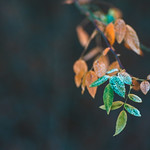 Frosty leaves thumbnail