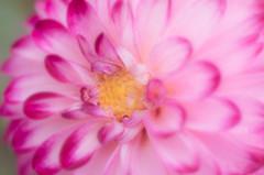 Dahlia (larryvanhowe) Tags: dahlia editor europe extension flower grangegardens lewes macro manuallens pentax50mm places plants style subject sussex topaz unitedkingdom