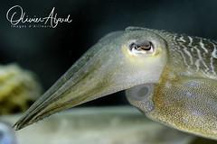 IMG_8932-MDive1 (oalard) Tags: canon 5d easdive leo3 retra macro sousmarine submarine photosousmarine dive plongee australia nsw nelsonbay cuttlefish seiche