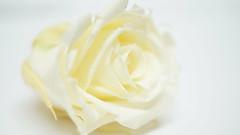 White on white (passionpapillon) Tags: macromondays whiteonwhite macro flower fleur rose blanc bouton white passionpapillon 2019