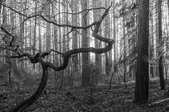 forest lines (jen.ivana) Tags: wood tree forest line crooked deformed day daytime bw blackandwhite monochrome nature