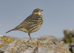 Rock Pipit W6 27th December (Gavin Vella) Tags: rock pipit portrate wildlife wildlifephotography wildlifeuk britishwildlife britishbirds ukwildlife ukbirds bird birds nature natureuk naturephotography