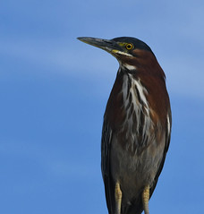 Green Heron, Butorides virescens (Dave Beaudette) Tags: birds greenheron butoridesvirescens kennedypark tucson pimacounty arizona