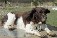 Benjy - King Muddyfeet the First (billnbenj) Tags: benjy spaniel springerspaniel dog barrow cumbria king kingofhowtunwoods