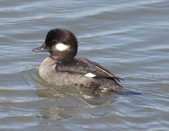 F_031719g (Eric C. Reuter) Tags: birds birding nature widlife nj forsythe nwr march 2019 refuge 031719
